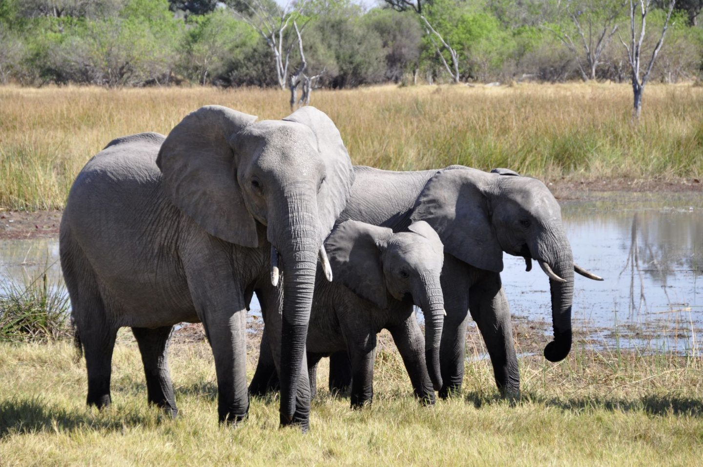 Elephant family in the savannah